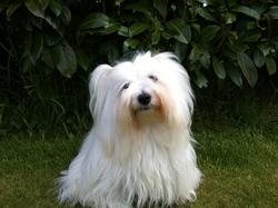 Nosyblue, chien Coton de Tuléar