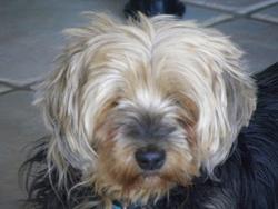 Nouba , chien Yorkshire Terrier