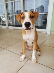 Nouba, chiot American Staffordshire Terrier