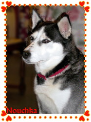Nouchka, chien Husky sibérien