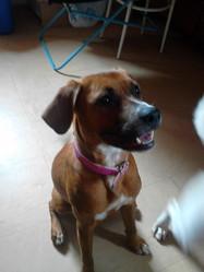 Nouchka, chien American Staffordshire Terrier