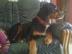Nouchka, chien Beauceron