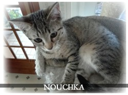 Nouchka, chaton Européen