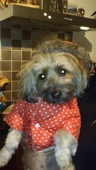 Noucky, chien Yorkshire Terrier