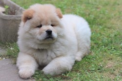 Noucky, chien Chow-Chow