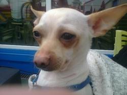 Nouga, chien Chihuahua