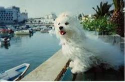 Nougat, chien Bichon maltais