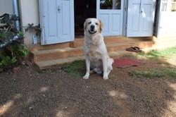 Nouga, chien Golden Retriever
