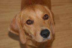 Nouga, chien Beagle