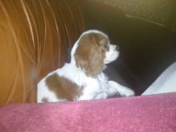 Nougat , chien Cavalier King Charles Spaniel