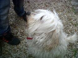 Nougat, chien Terrier tibétain