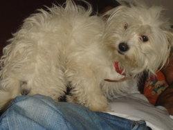 Nougat, chien Coton de Tuléar
