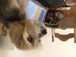 Nougat, chien Yorkshire Terrier