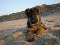 Nougat, chien Berger allemand