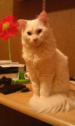 Nougat, chat Angora turc