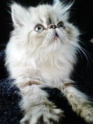 Nougat, chat Chinchilla