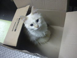 Nougat, chat Européen