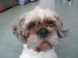 Nougat, chien Shih Tzu