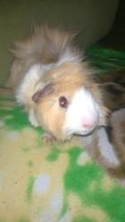 Nougat, rongeur Cochon d'Inde