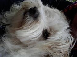 Nougat, chien Berger des Pyrénées