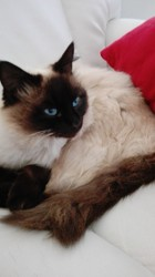 Nougat, chat Siamois