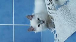 Nougat, chaton Ragdoll