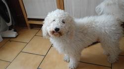Nougat, chien Bichon à poil frisé