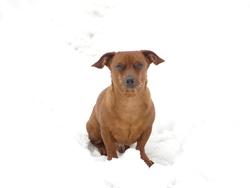 Nougat, chien Teckel