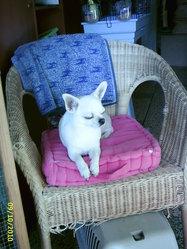 Nougat, chien Chihuahua