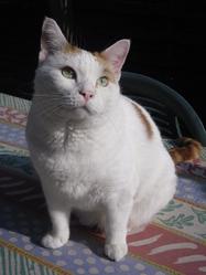 Nougat , chat Européen
