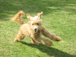 Nougat, chien Caniche