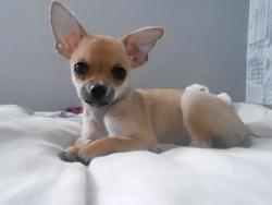 Nougatine, chien Chihuahua