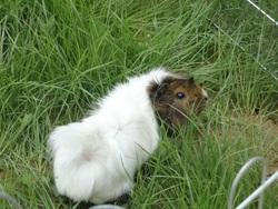 Nougatine Qui Est Décédée, rongeur Cochon d'Inde