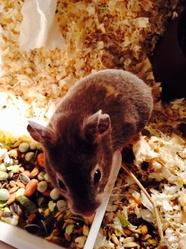 Nougatine , rongeur Hamster
