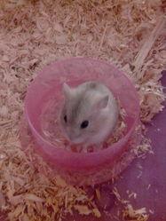 Nougatine, rongeur Hamster