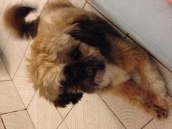 Gico, chien Shih Tzu