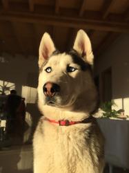Nouk, chien Husky sibérien