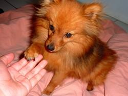 Nouka, chien Spitz allemand
