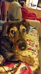 Kira, chien Teckel