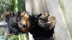 Noukette, chiot Yorkshire Terrier