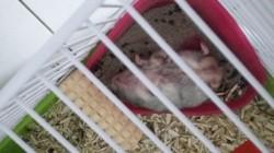 Nouki, rongeur Hamster