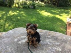 Nouki, chiot Yorkshire Terrier