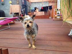 Nouky, chien Pinscher