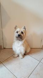 Nouky, chien Cairn Terrier