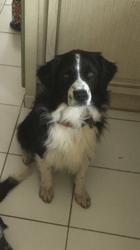 Nouky, chien Berger australien