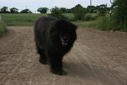 Noumba, chien Terre-Neuve