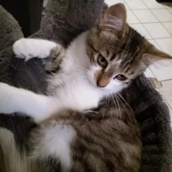 Nouméa, chaton Maine Coon