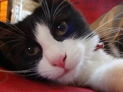 Nounouche, chat Angora turc