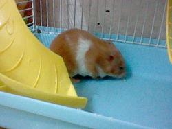 Nounoune, rongeur Hamster