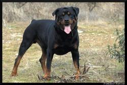 Nounours, chien Rottweiler